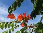 ハワイ島フォト日記 知っていましたか? ハワイの害敵の花!!!