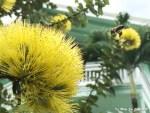 庭の黄色のレフア、ハイビスカス、胡蝶蘭、ヘリコニアが満開です!