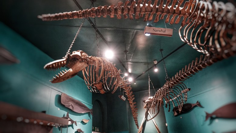 Whale skeletons in the Hull Maritime Museum.