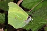 A brimstone butterfly