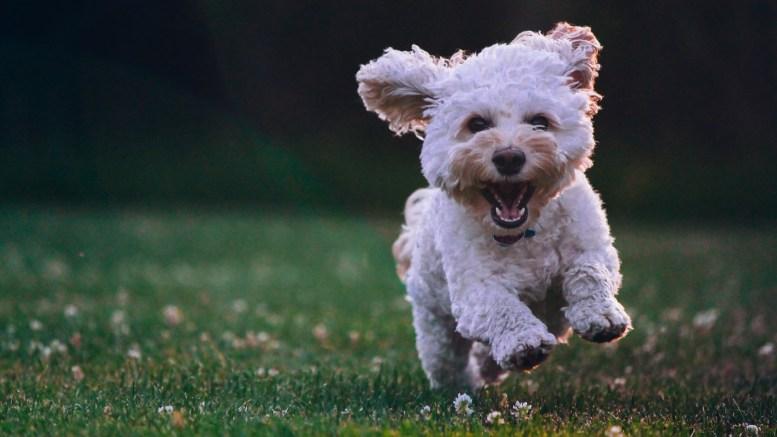 A white shih tzu puppy running on grass