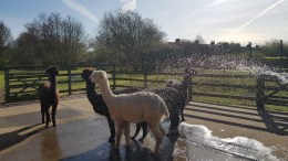 Alpacas being showered at Hull's Animal Education Centre.