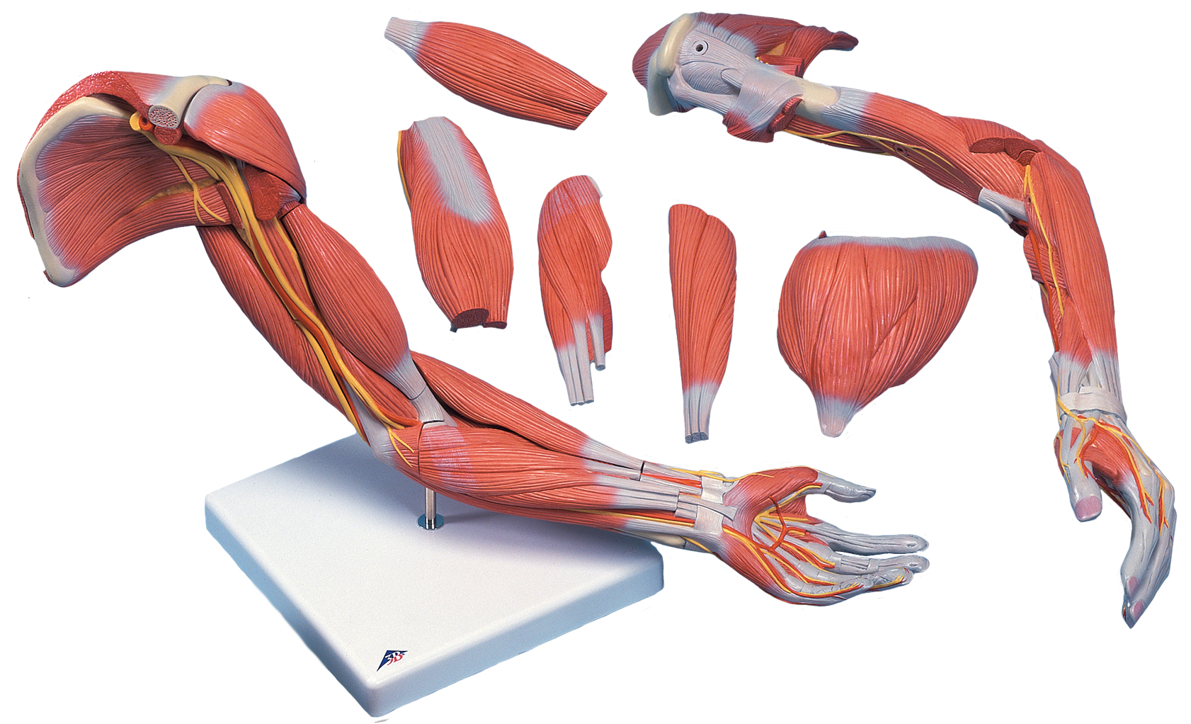 Human Arm Models With Muscles