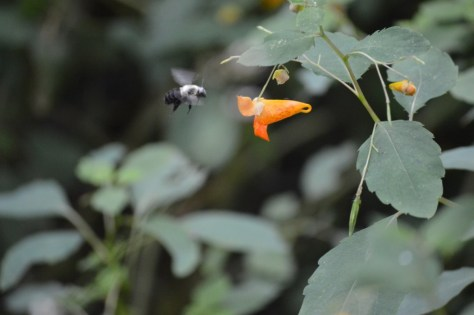 Image of jewelweed with bee