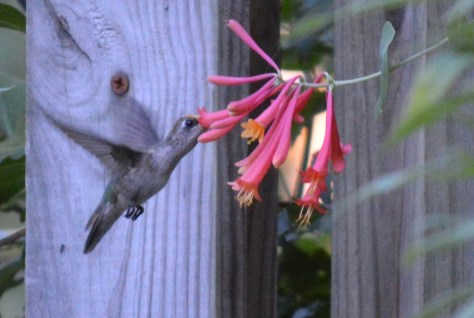 Image of hummingbird sipping from coral honeysuckle