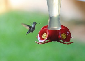 image of hummingbird at feeder