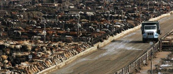 Entre 1960 et aujourd'hui, le nombre de bovins est passé de 1 milliard à 1,7 milliard. © Gary Kazanjian/NYT-REDUX-REA