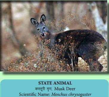 State Animal Of Uttarakhand Musk Deer