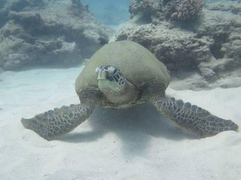 Hawaiian Vacation Sea Turtle Closeup