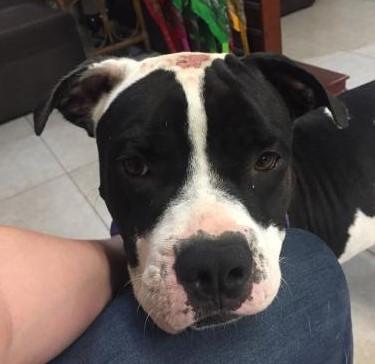 adopt Brutus - American bulldog