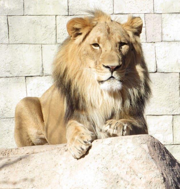 lion el paso zoo