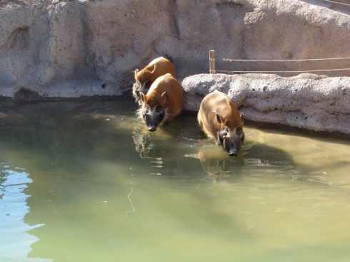 red river hogs el paso zoo 2