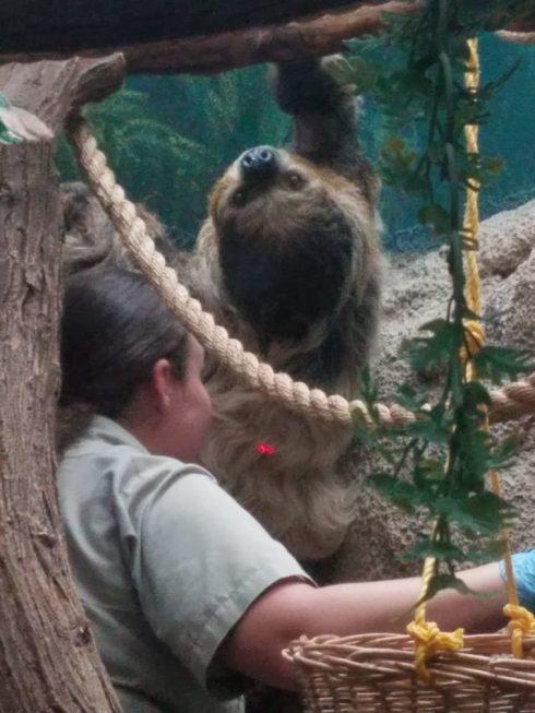 three toed sloth el paso zoo 2