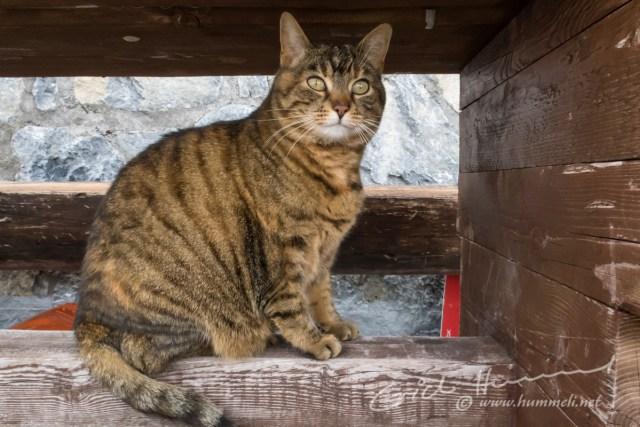 Die Planura-Katze
