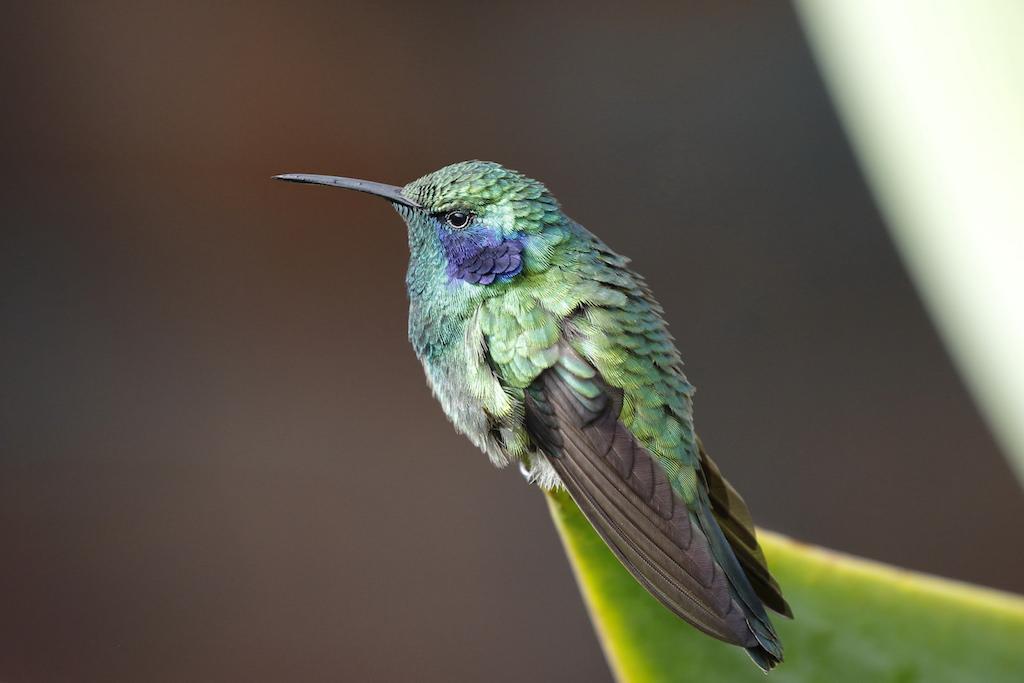 Migration Map Hummingbird 2017