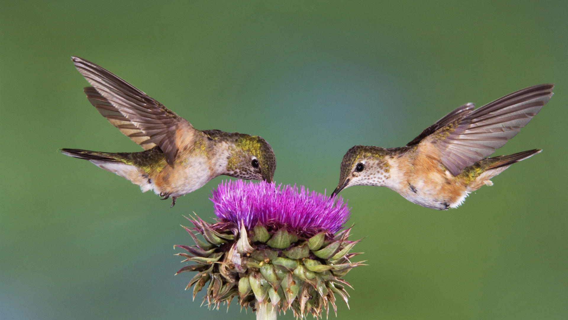 Hummingbirds Plus Feeding News Study Group Amp More