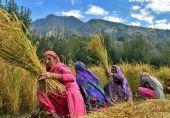 مقبوضہ کشمیر میں دھان کی کٹائی کے مناظر