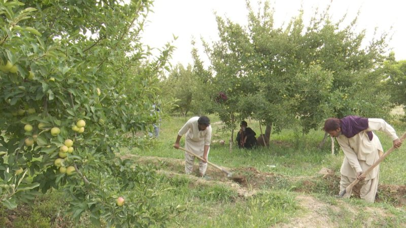 سیبوں کا باغ