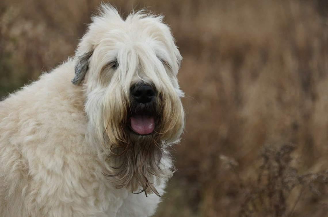 Wheaten Terrier Hund