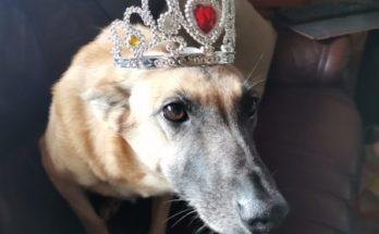 Hunde Prinzessin mit Krone