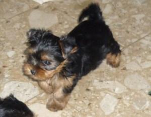 11 Wochen alt Yorkshire Terrier Welpen zum Barbarakreuz aus der Hundezucht Glanz sind glückliche Hunde.Ab 9 Wochen werden sie abgegeben.Sie sind dann geimpft, haben Chip, EU Pass und Stammbaum