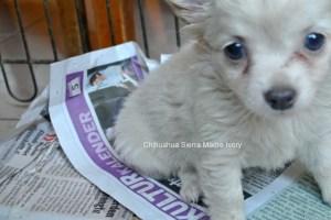 Chihuahua Sierra Madre  Hündin Ivory, 6 Wochen, frei