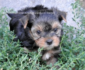 Yorkshire Terrier zum Barbarakreuz, 6 Wochen Yorkshire Terrier zum Barbarakreuz, 6 Wochen Rüde und Hündinnen frei 0253885402