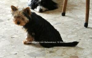 Yorkshire Terrier zum Barbarakreuz, Rüde, 16 Wochen, frei.er ist sehr lieb, zutraulich, immer lustig, wird besonders schön, wiegt z.Zt.1,96 kg, hat Impfung, Chip, Eu Pass, Stammbaum.