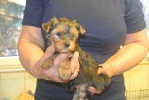 Yorkshire Terrier zum Barbarakreuz, 7 Wochen, Rüde, frei