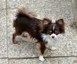 Yago, Chihuahua Zucht-Rüde, 2.20kg Der Vater meiner Chi-Babys