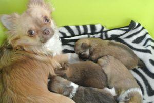 Chihuahua Welpen, 3 Wochen alt-