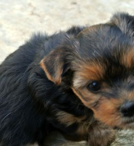 2016-09-15-591_Yorkshire Terrier zum Barbarakreuz-6 Wochen