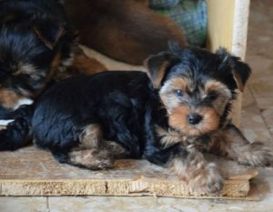 Yorkshire Terrier zum Barberekreuz, 9. Woche