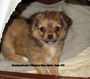 Xenia-lustiges Chihuahua Mädchen frei
