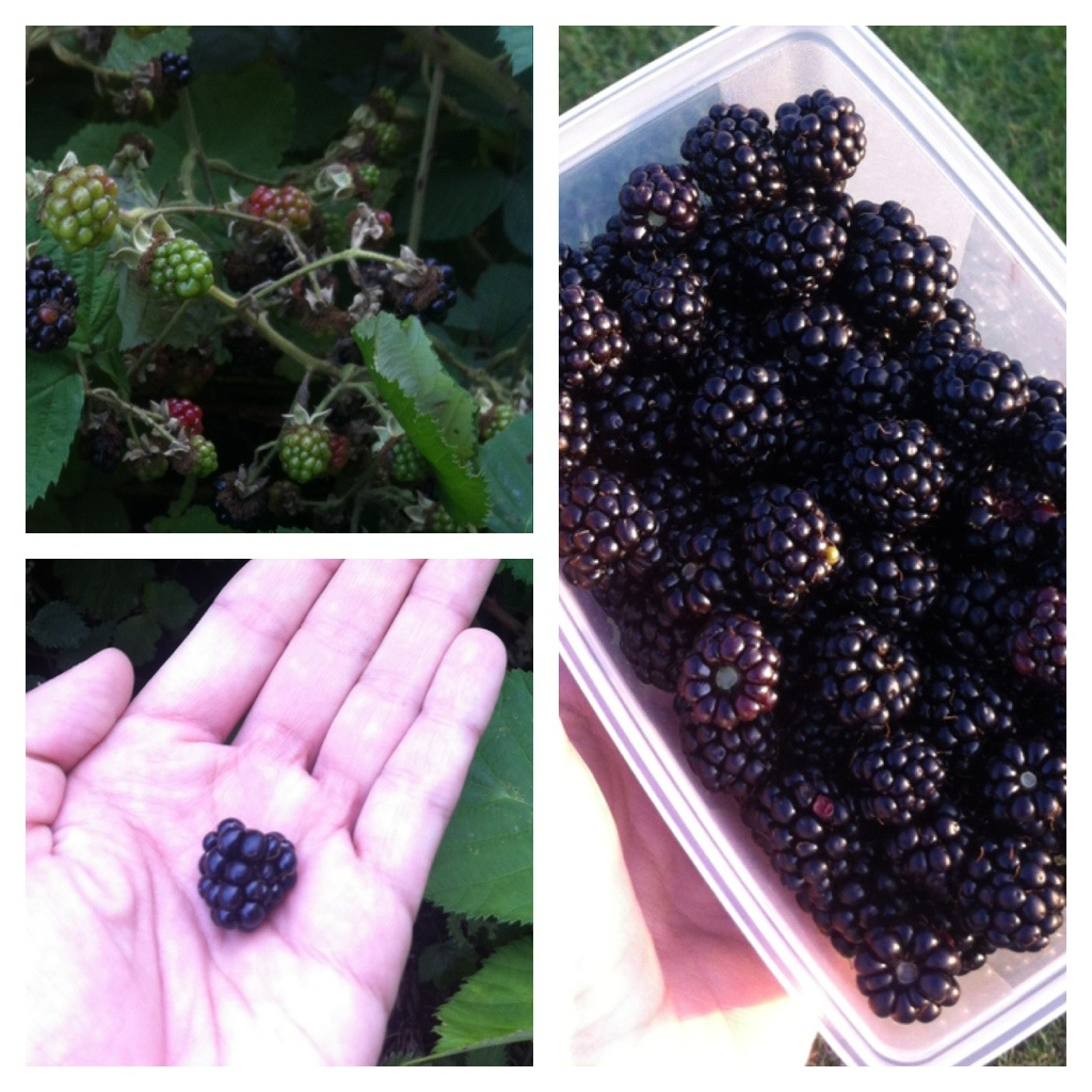 Hungrycityhippy blackberries