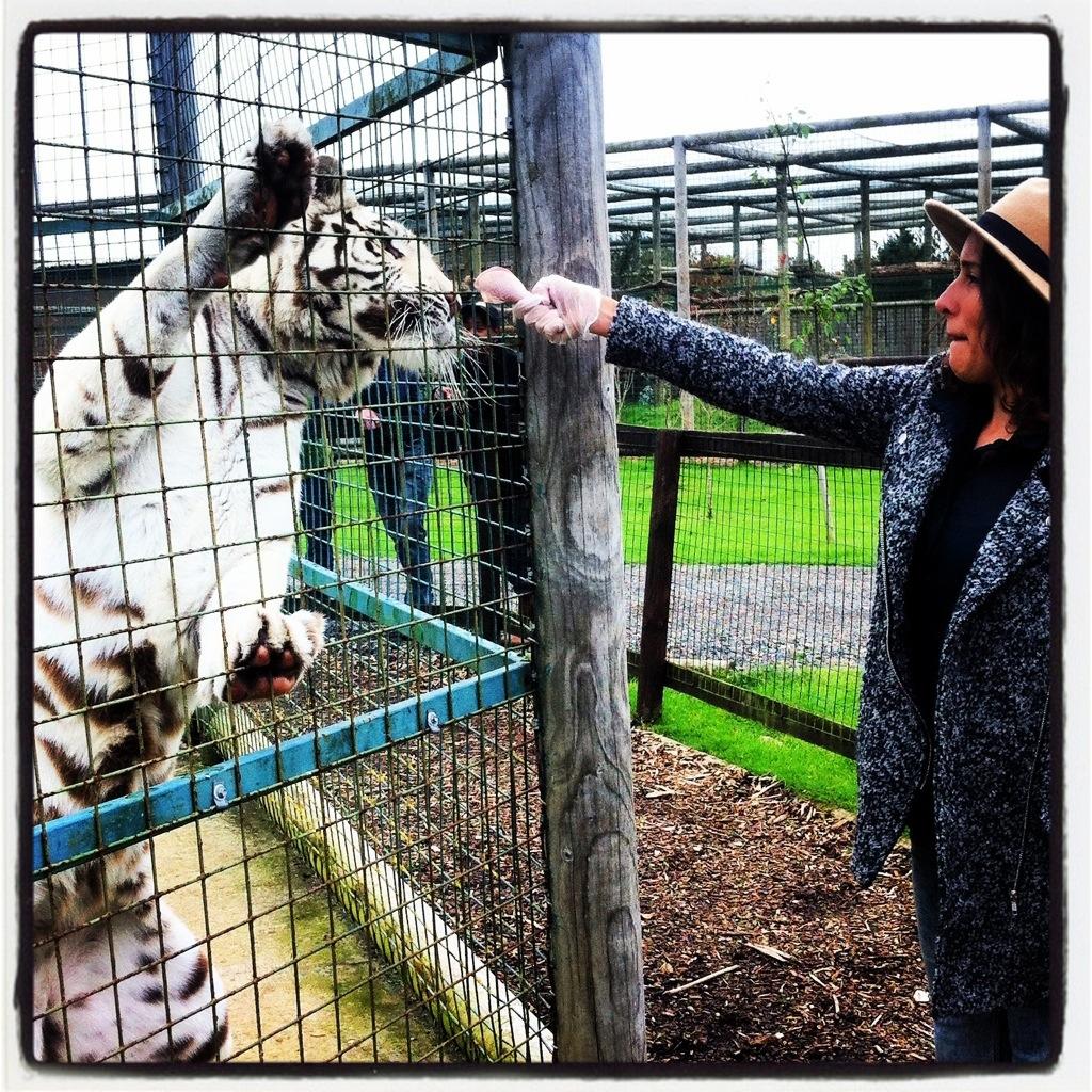 Feeding the Tiger at WHF Big Cat Sanctuary