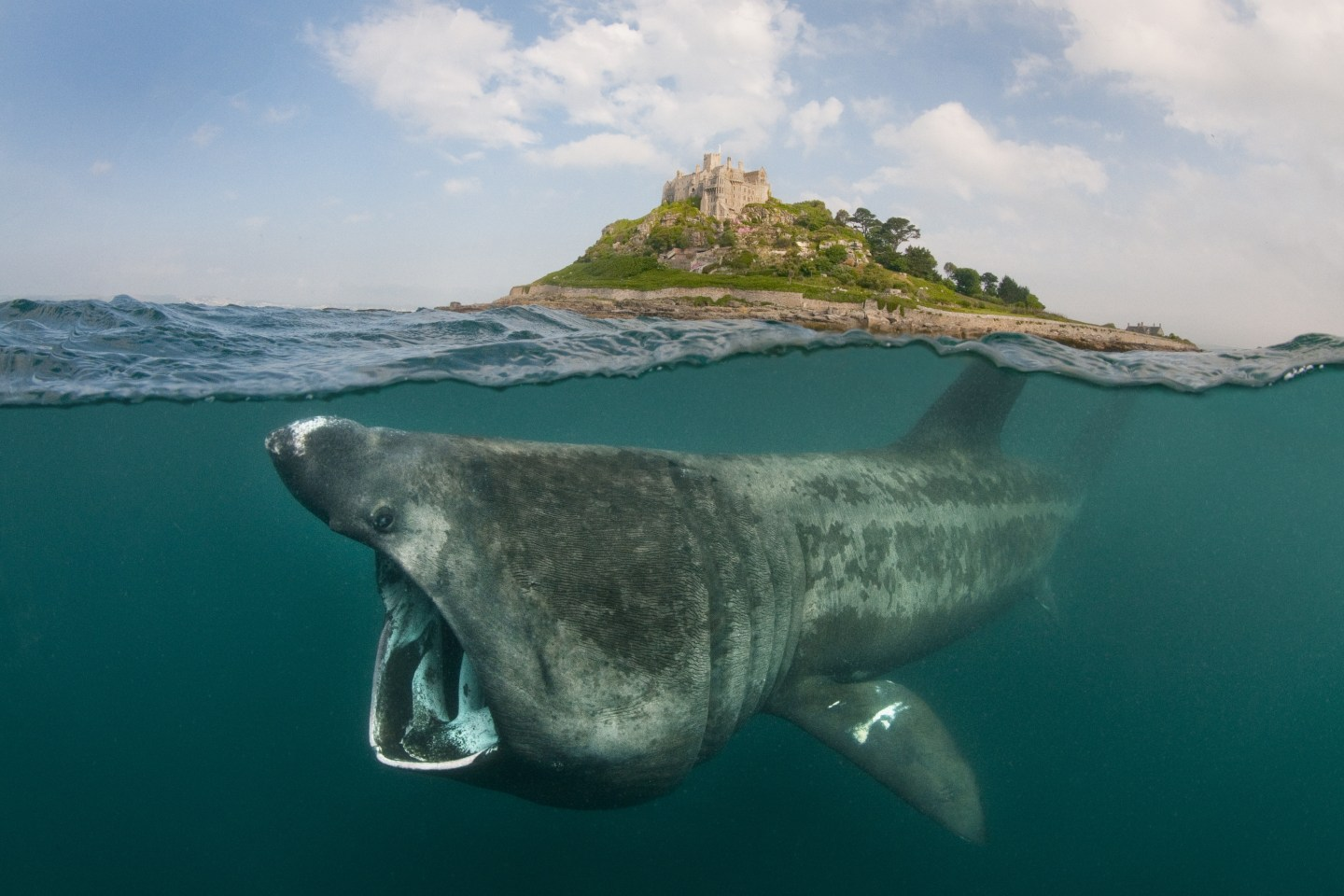 A split level digital composite showing a Basking shark (Ceterhinus maximus) feeding on plankton around St Michael's Mount, Cornwall, UK