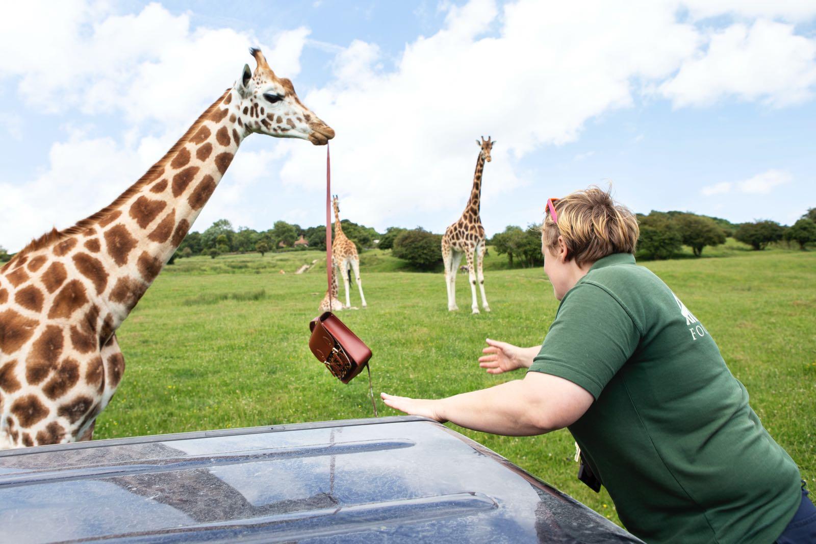 Giraffes at The Aspinall Foundation
