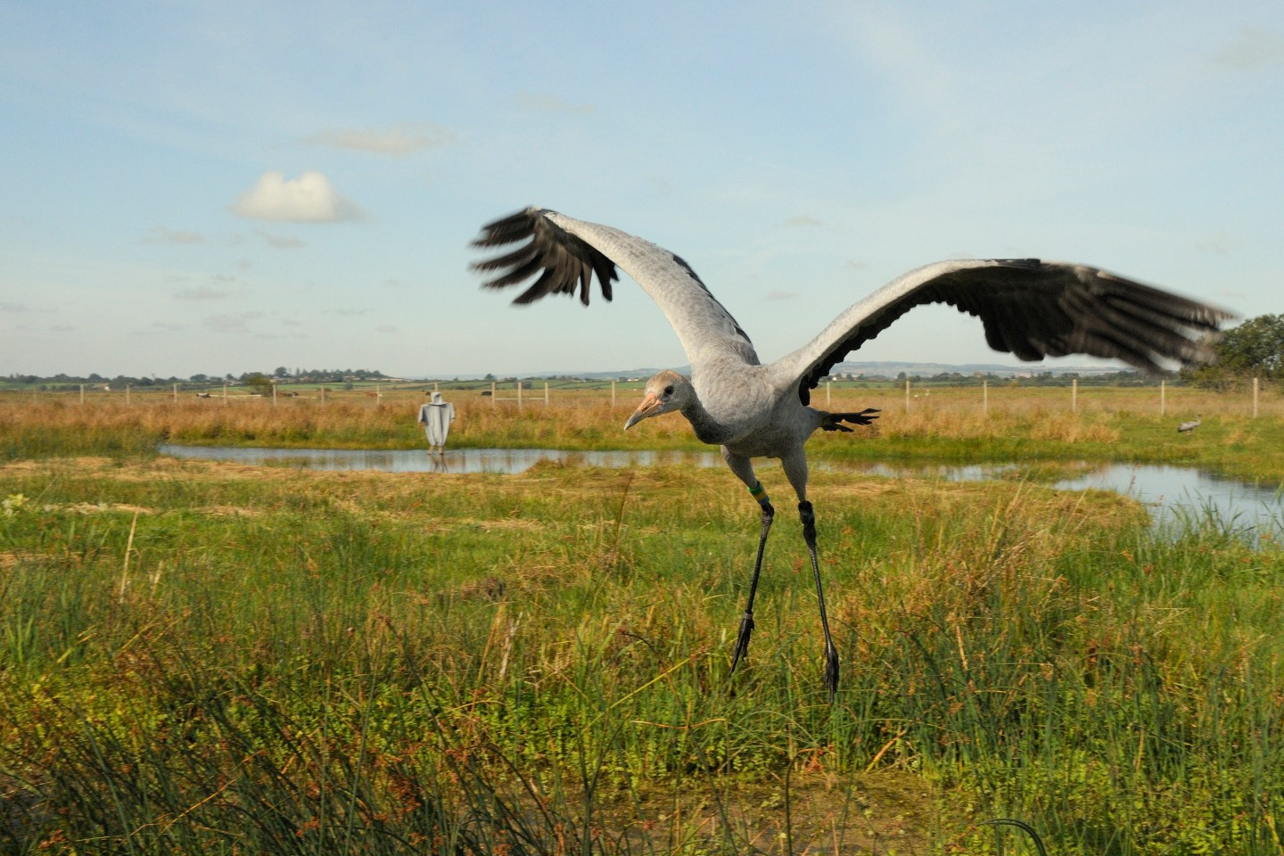 Cranes on the Gwent levels.