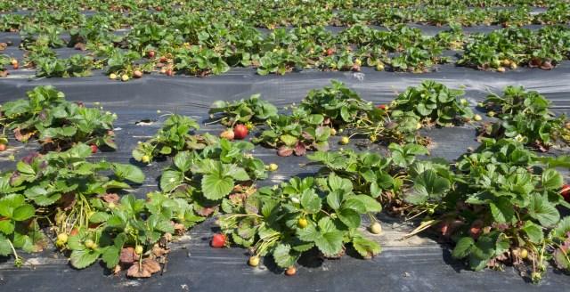 Strawberry plants!