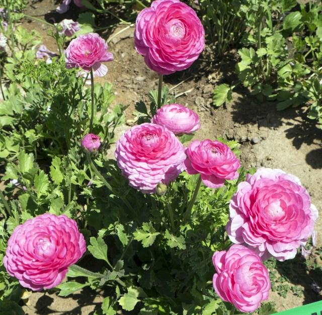 flower.fields.5843