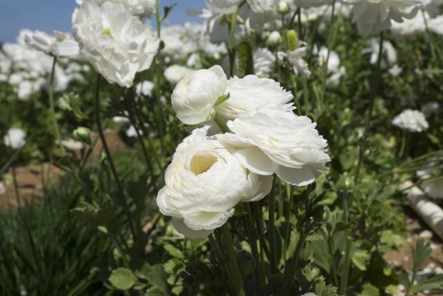 flower.fields.5852