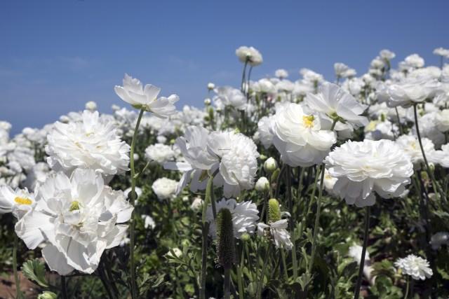 flower.fields.5855