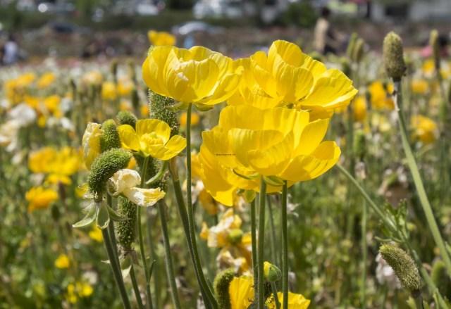 flower.fields.5936