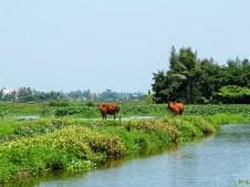 Около Хой Ан зе разпростират оризища, където спокойно си пасат биволи