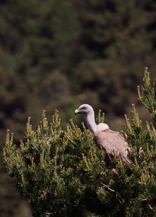 Griffon-Vulture-in-a-tree
