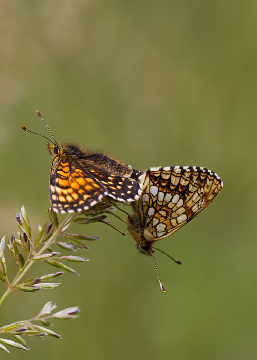 Mating-False-Heath-Fritillarys