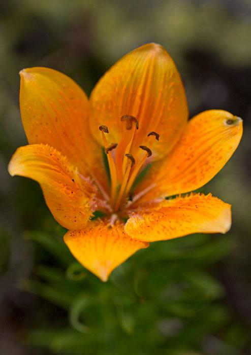 Orange-Lily-(Lilium-croceum)