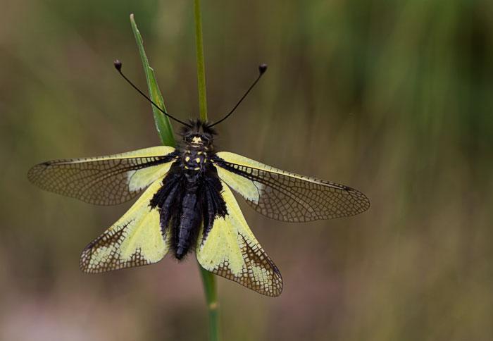 Owlfly,-Libelloides-coccajus