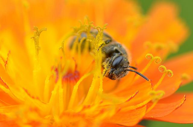 Garden Invertebrates - Lassioglossum bee